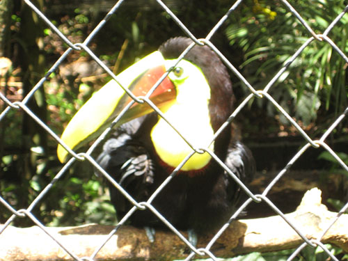 toucan zoo ave